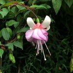 Fuchsia spp.