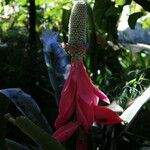 Aechmea mariae-reginae