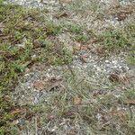 Eragrostis multicaulis