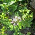 Pentas lanceolata Leaf