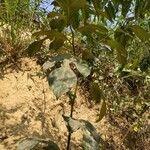 Artocarpus chama