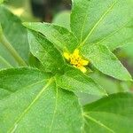 Synedrella nodiflora
