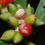 Psychotria psychotriifolia