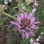 Astragalus glaux