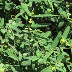 Euphorbia articulata