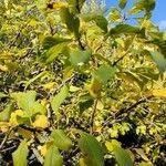 Prunus domestica Leaf