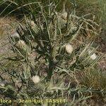 Cirsium richterianum