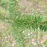 Abies balsamea Leaf