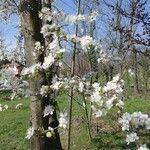 Prunus cerasifera Fleur