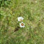 Sida linifolia