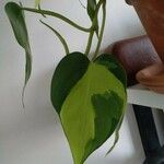 Philodendron brasiliense