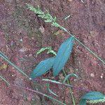 Echinochloa colona