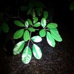 Tabebuia heterophylla Feuille