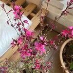 Oenothera lindheimeri Kukka