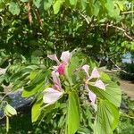 Bauhinia monandra Cvet