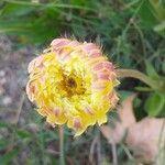 Urospermum