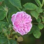 Rosa stylosa