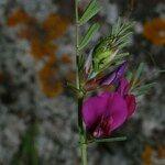 Vicia amphicarpa