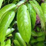 Neobalanocarpus