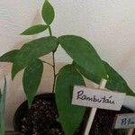 Nephelium ramboutan-ake