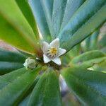 Neoschmidia calycina