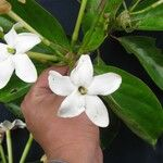 Cosmibuena grandiflora