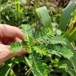 Phyllanthus urinaria Leaf