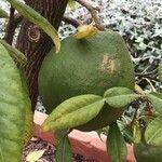 Citrus macroptera
