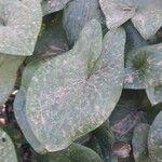 Arisarum vulgare Leaf