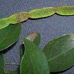 Arthroclianthus leratii