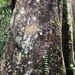 Coelostegia borneensis