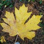 Acer macrophyllum List