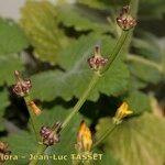Crepis zacintha