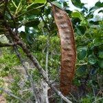 Cassia artensis