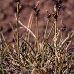 Carex glacialis