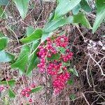 Smilax aspera Fruit