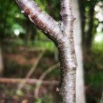 Prunus serotina Hábito