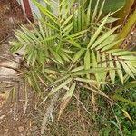 Phoenix reclinata Leaf