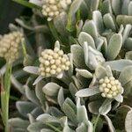 Helichrysum gossypinum