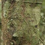 Cupania scrobiculata