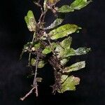 Didymoglossum angustifrons