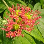 Jatropha multifida