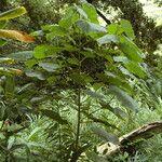 Clerodendrum macrostegium