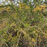 Commelina africana Leaf