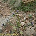 Buglossoides incrassata