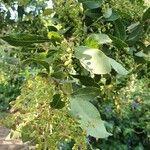Searsia natalensis Hedelmä