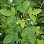 Oxalis barrelieri Leaf