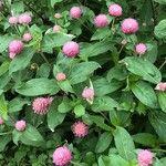Gomphrena globosa Kwiat