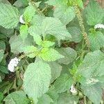 Heliotropium indicum 葉