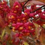 Euonymus europaeus Gyümölcs